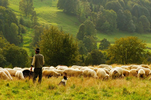 sheep-shepherd