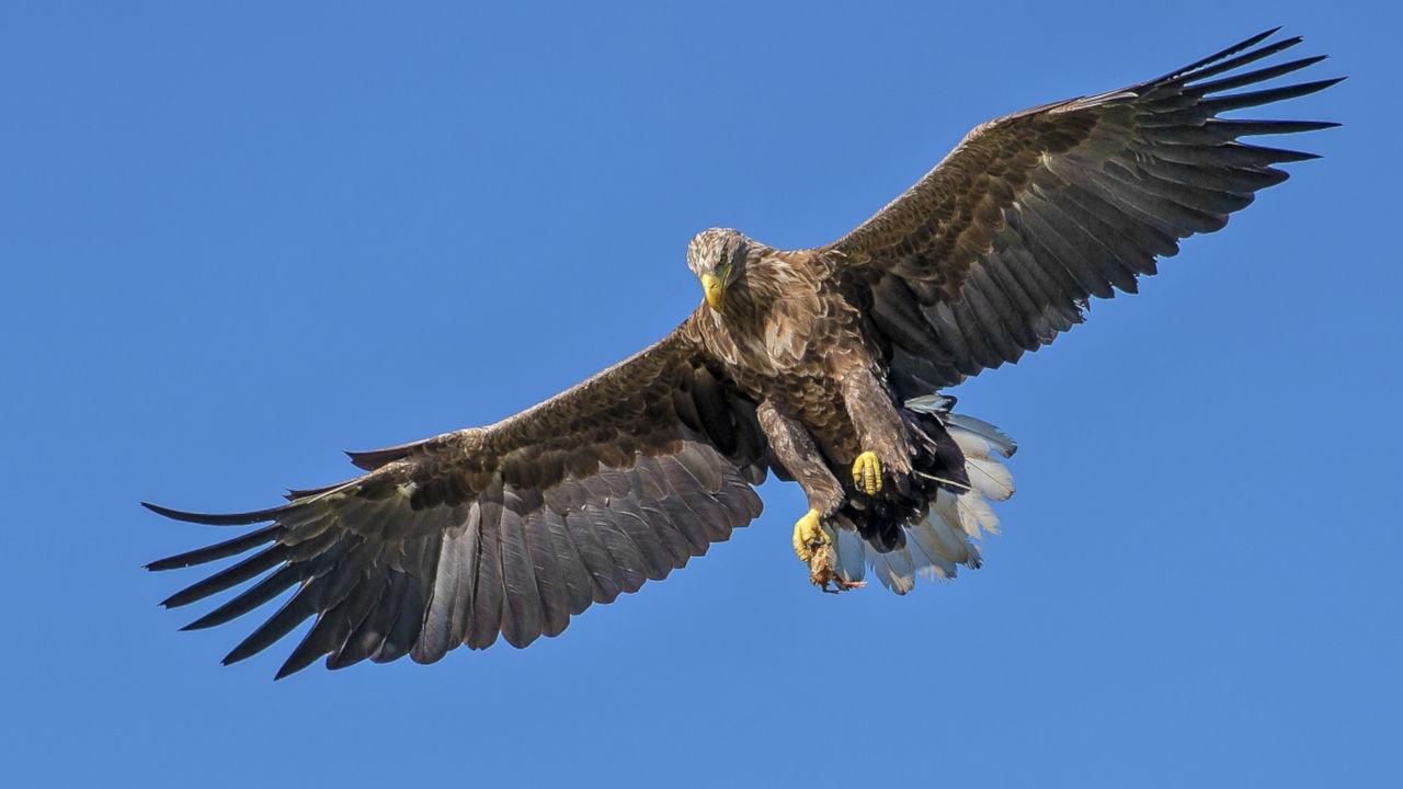 soaring-eagle